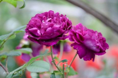 akiko_rose-34