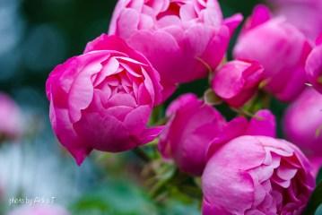 akiko_rose-57