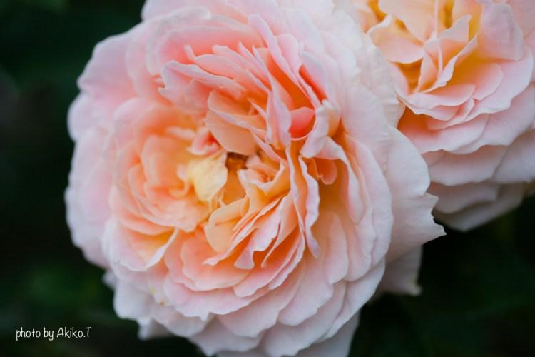 akiko_rose-70