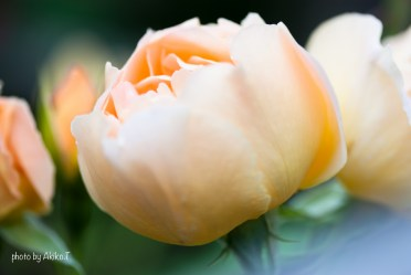 akiko_rose-72