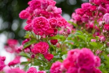 akiko_rose-75