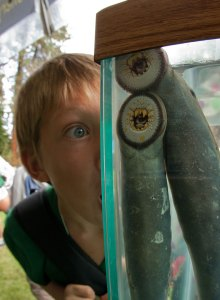 A child peers at lamprey during an educational outreach event sponsored by the U.S. Fish and Wildlife Service.