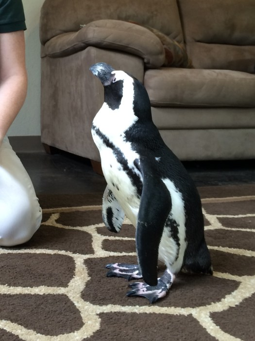 This little penguin walked in!