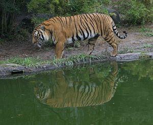 เสือโคร่ง ภาพประกอบจาก wiki