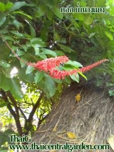 ดอกย่านางแดง