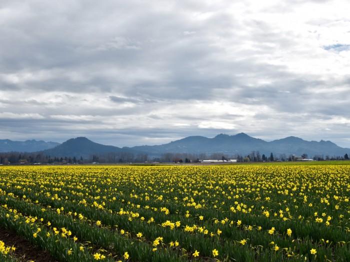 daffodil la conner