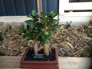 Poetically, this bonsai is a miniature species of the one above it