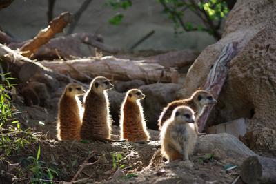 meerkat collective