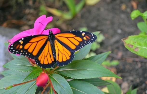 monarch-699553_640