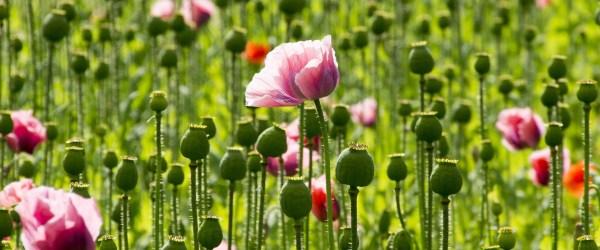 poppy-864457_1920