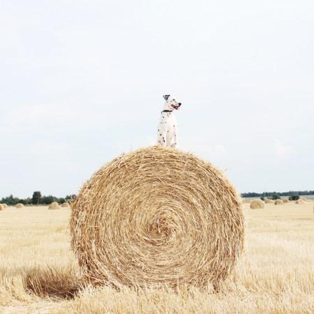Черно-белый друг: далматинец Рэйна