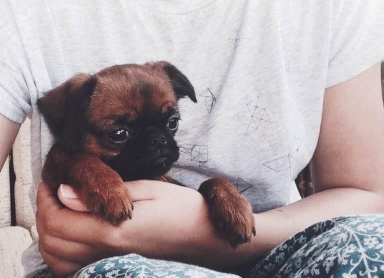 Игрушечная собака: гриффон Груша