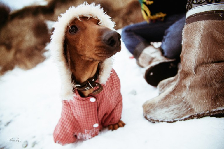 Чудесный мини-пёс: такса Пуля