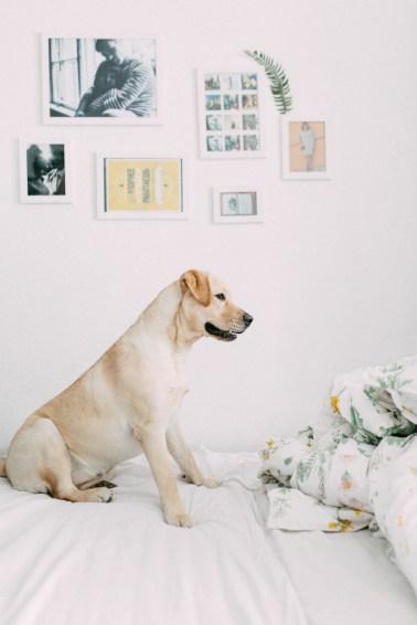 Labrador-Miha-1 (22)