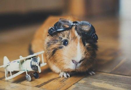 Любитель морковки: морская свинка Степан