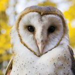 Barn Owl (Image taken from pittsburgzoo.com)