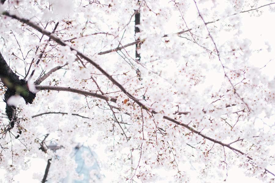 cherry-blossom-150405-16