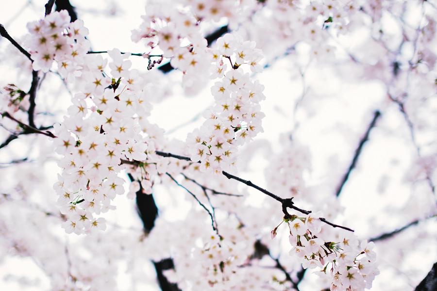 cherry-blossom-150405-52