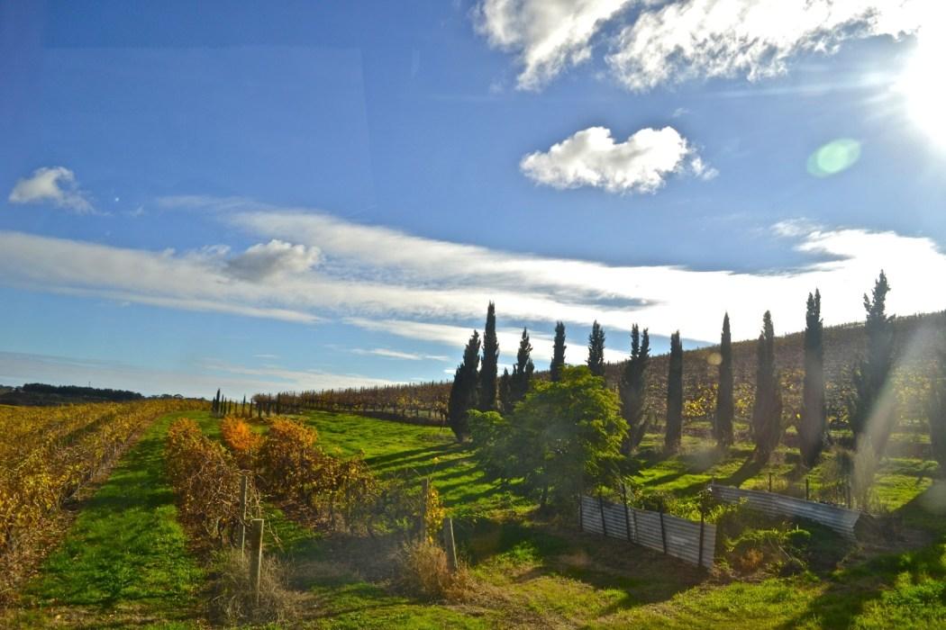 Picturesque autumn vines at Coriole vineyards.
