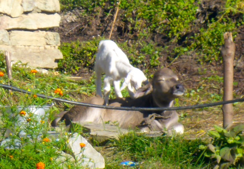 A baby goat playing on a baby water Buffalo