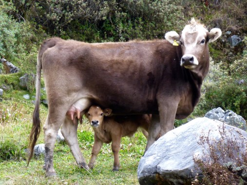 Cows - Cordillera Huayhuash, Peru
