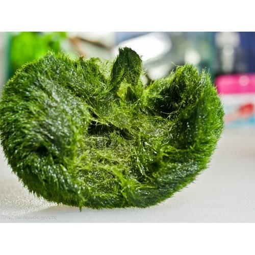 Medium Crop Of Marimo Moss Balls