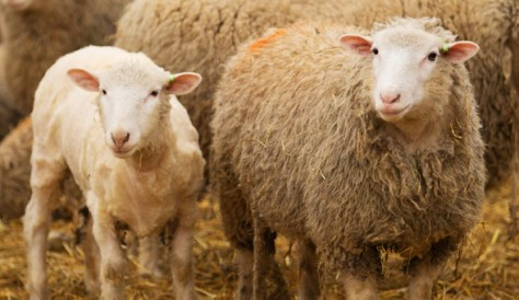 Blue Hill Sheep
