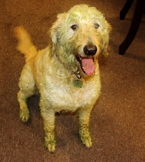 chance-green-dog-july