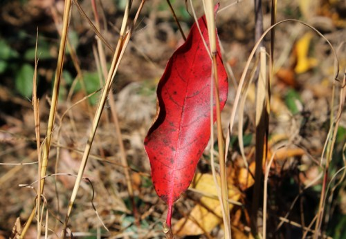 fall-red-leaf-2013