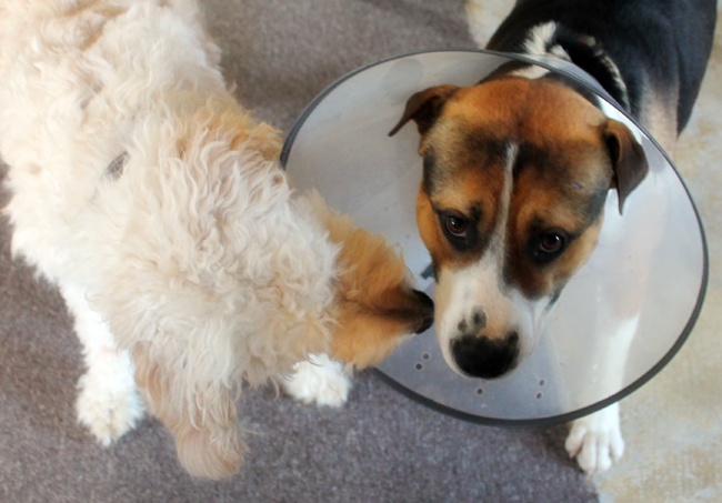 lampshade_dog_collar
