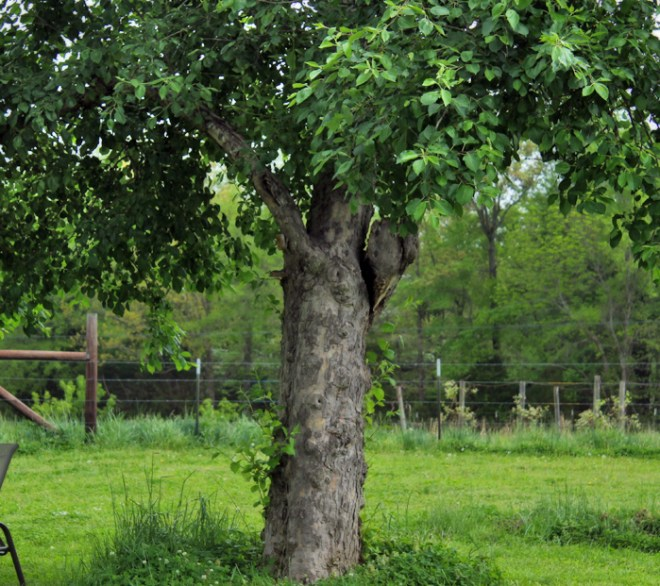 crab-apple-tree-before-storm-tennessee