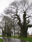 trees at Stourhead