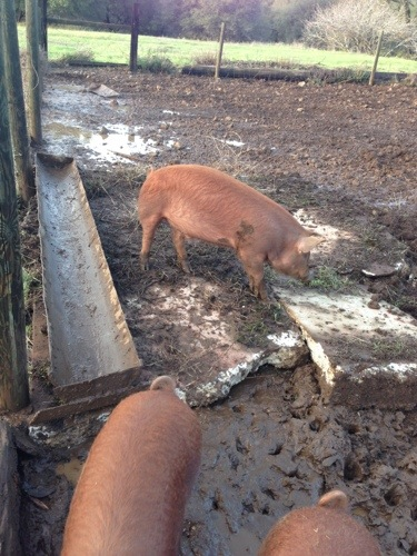 And the last pig pen improvement is a concrete feeding station!!!  My parents surprised me when I got home from work - isn't it awesome!?