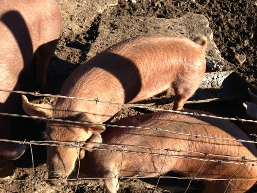 Pig picture 2