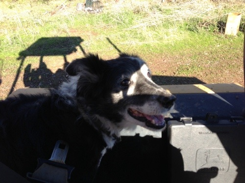 My old cowdog Nikki spent all my vacation with me. She is too old to jump up onto the backhoe, so I picked her up and put her in the seat with me. She was so happy to be with me! It kinda made me cry.