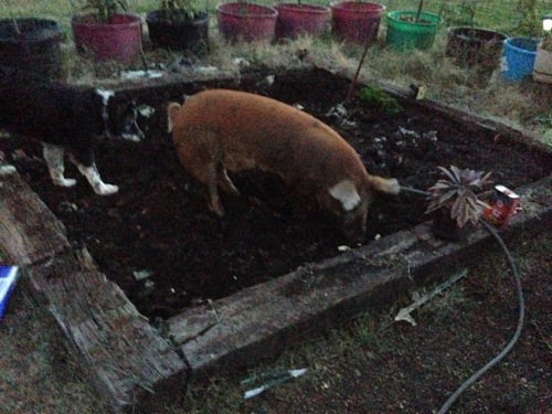 "Char the bad pig was ""helping"" till my garden."