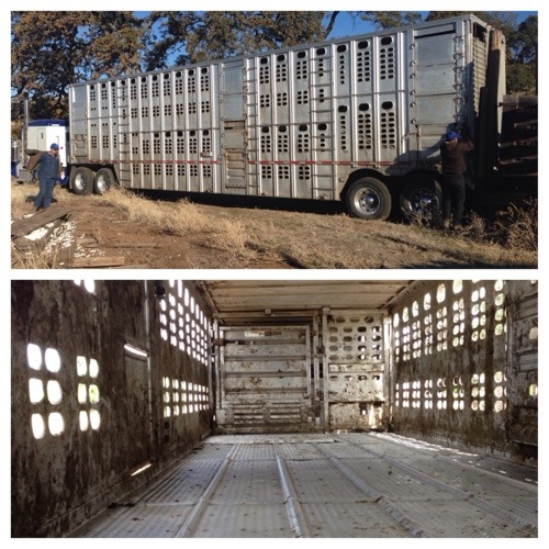 This is how we ship our cattle, in huge cattle trucks. The bottom is what they look like inside.