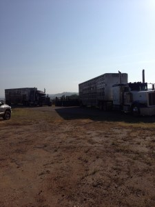 The trucks loading our cattle.