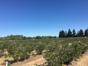 This is what a blueberry farm in Northern California looks like.