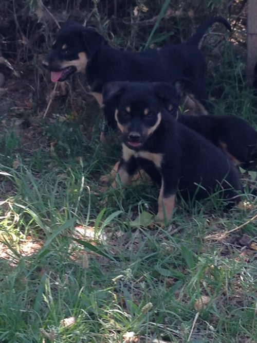 Kelpie pups that are available