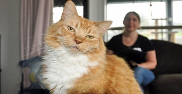 Tipsy, who suffered a stroke, is one of the resident cats in the Kitten Inn. In recent months Tipsy has been surrounded by kittens, with the record number being attributed to global warming. Looking on is Kitten Inn volunteer Patricia Gray.