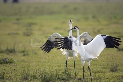2512320-whooping-cranes-doing-the-mating-dance