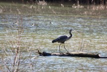 Great Blue Heron strutting