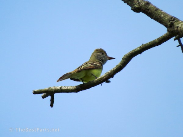 Great-crested Flycatcher1