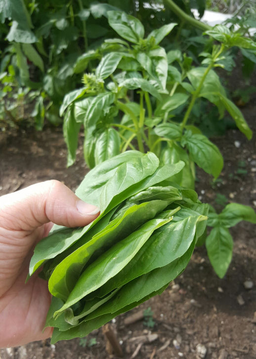 home grown basil leaves