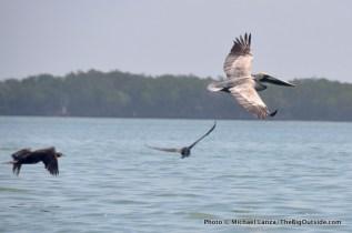 Brown pelican and cormorants, Everglades.