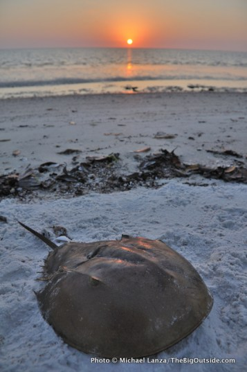 Horseshoe crab, Tiger Key.
