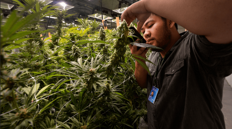 Surge in weed supplies Daily Camera