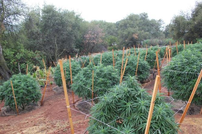 outdoor-marijuana-cultivation-could-be-banned-within-woodland-city-limits