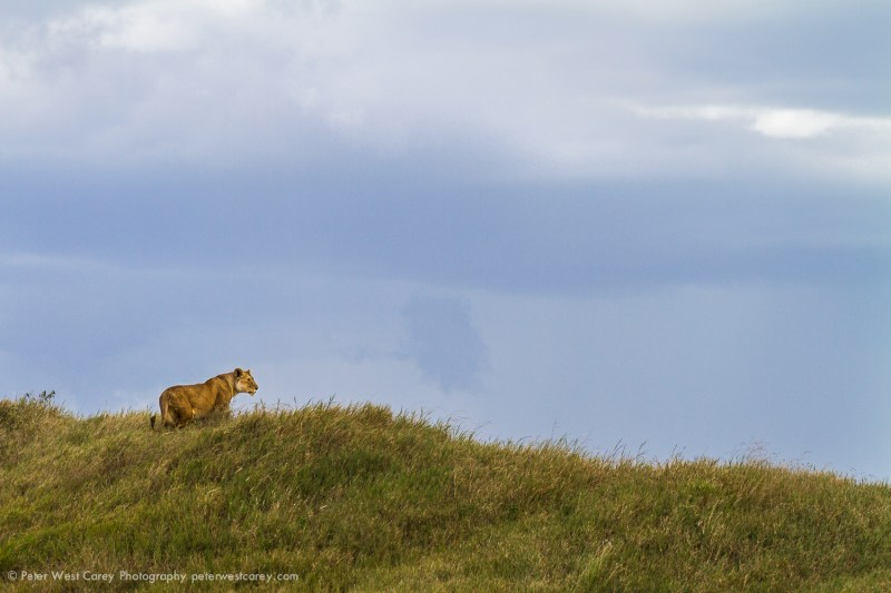 Lioness Surveying The Savanna